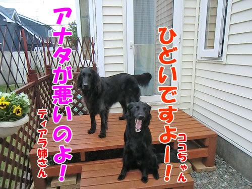 チャンスとティアラ+ココ-20130708-2-500.jpg