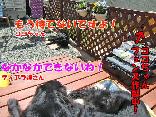 チャンスとティアラ+ココ-20130708-4-500.jpg