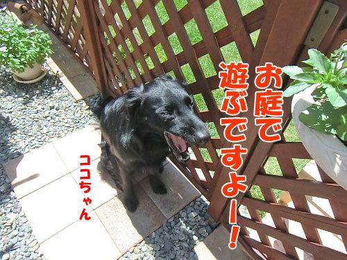 チャンスとティアラ+ココ-20130708-7-500.jpg