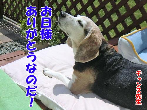 チャンスとティアラ+ココ-20130708-8-500.jpg