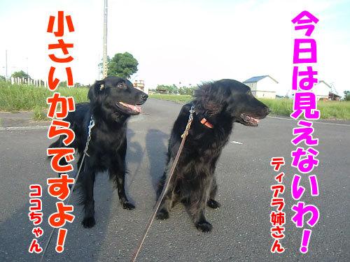 チャンスとティアラ+ココ-20130722-1-500.jpg