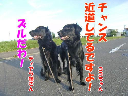 チャンスとティアラ+ココ-20130722-4-500.jpg