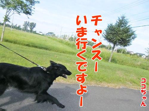 チャンスとティアラ+ココ-20130722-5-500.jpg