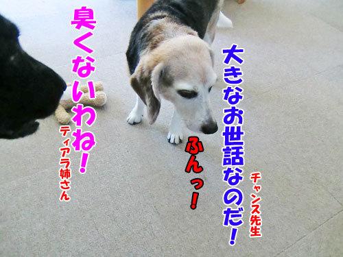 チャンスとティアラ+ココ-20130724-3-500.jpg