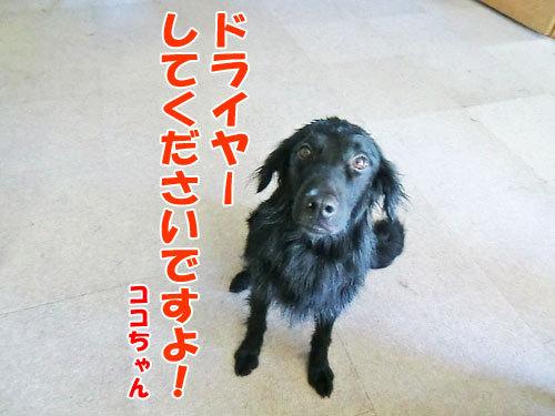 チャンスとティアラ+ココ-20130724-5-500.jpg
