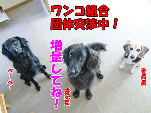 チャンスとティアラ+ココ-20130724-6-500.jpg