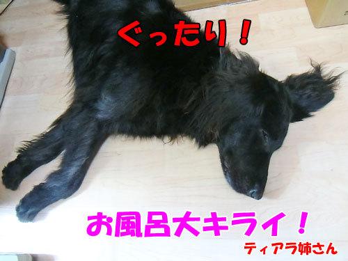 チャンスとティアラ+ココ-20130724-8-500.jpg
