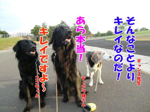チャンスとティアラ+ココ-20130726-3-500.jpg