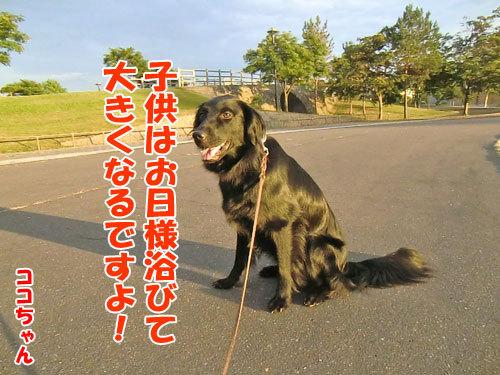 チャンスとティアラ+ココ-20130726-5-500.jpg