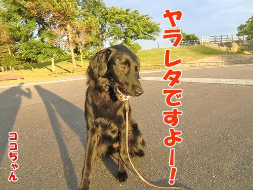 チャンスとティアラ+ココ-20130726-7-500.jpg